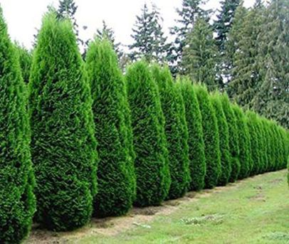 Awesome Fence With Evergreen Plants Landscaping Ideas 100