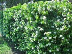 Awesome Fence With Evergreen Plants Landscaping Ideas 21
