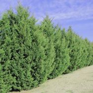 Awesome Fence With Evergreen Plants Landscaping Ideas 5