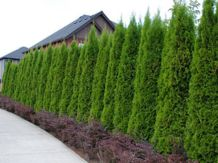 Awesome Fence With Evergreen Plants Landscaping Ideas 69