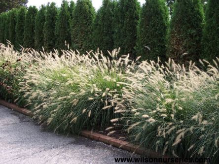 Awesome Fence With Evergreen Plants Landscaping Ideas 72