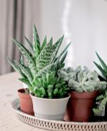 Beauty Succulents for Houseplant Indoor Decorations 30 1