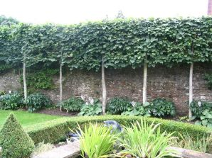 Fascinating Evergreen Pleached Trees for Outdoor Landscaping 43