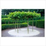 Fascinating Evergreen Pleached Trees for Outdoor Landscaping 5