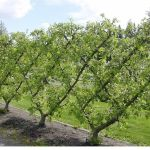 Fascinating Evergreen Pleached Trees for Outdoor Landscaping 55