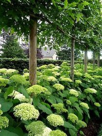 Fascinating Evergreen Pleached Trees for Outdoor Landscaping 66