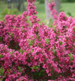 Colorful Landscaping with Low Maintenace Flower Bushes 23