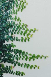 Marvelous Indoor Vines and Climbing Plants Decorations 36