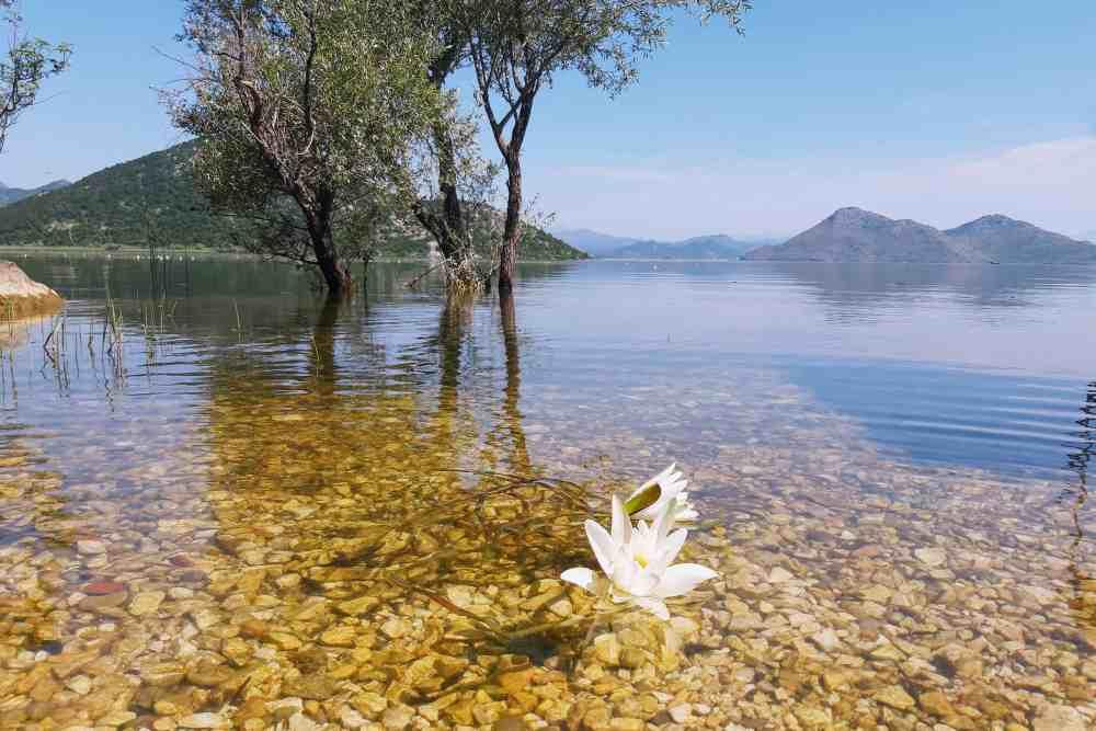 Water Lillies Skadar Lake NP | Glamping