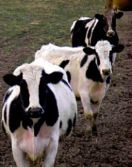Cows On My Side (Image via Flickr by Kathleen DeMaster)