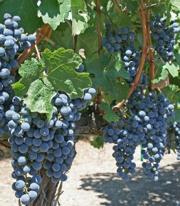 Grape_Vines_-_Cliff_Lede_Winery