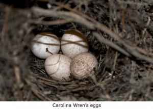 Wren eggs