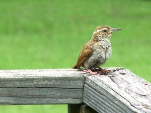 wren fledge