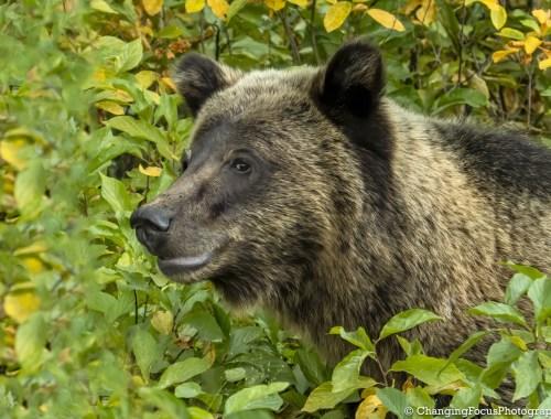 Grizzly Bear Cub in Aspen Trees