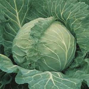 Heirloom Copenhagen Cabbage