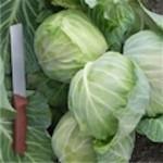 Cabbage 'Late Flat Dutch'