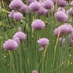 Chives 'Grass'