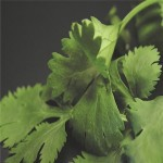 Cilantro 'Slow Bolt'