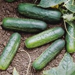 Cucumber 'National Pickling'