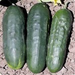 Cucumber 'Straight Eight'