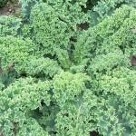 Kale 'Blue Scotch'