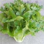 Lettuce 'Oakleaf'