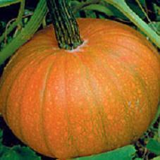 Pumpkin 'Sugar Pie'