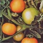 Tomato 'Longkeeper'