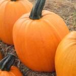 Pumpkin 'Autumn Gold'