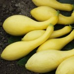 Squash 'Golden Summer Crookneck'