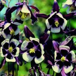 Columbine 'William Guinness' (Aquilegia)