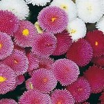 Bellis 'Rominette' (English Daisy)