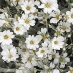 Cerastium 'Snow-in-Summer'