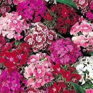 """Dianthus 'Sweet William"""""""