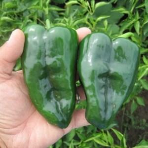 Pepper 'Poblano'
