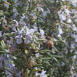 Rosemary 'Hardy Hill'
