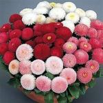 Bellis 'Super Enorma Mix' (English Daisy)