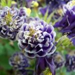 Columbine 'Winky Blue and White' (Aquilegia)