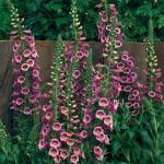 Digitalis 'Camelot Rose' (Foxglove)