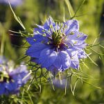 Nigella (Love- in-a- Mist)