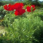 Poppy, Oriental 'Beauty of Livermore'
