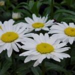 Shasta Daisy 'Snow Cap'
