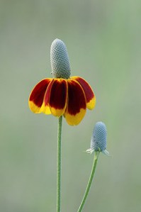 Ratibidia (Mexican Hat)