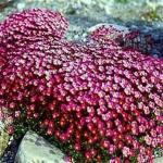 Saxifraga arendssi 'Purple Robe'