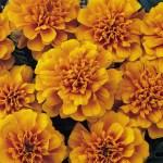 Marigold 'Bonanza Series'