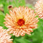 Calendula 'Triangle Flash Back'