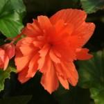 Begonia 'Breezy'