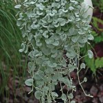 Dichondra 'Silver Falls'