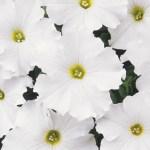 Petunia 'Dreams Series'