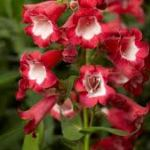 Penstemon 'Scarlet Queen'